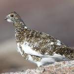 Ptarmigan Ben Macdui 19 Apr 2013 Richard Somers Cocks 1