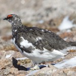 Ptarmigan Ben Macdui 19 Apr 2013 Richard Somers Cocks 2
