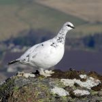 Ptarmigan Ben Rinnes 27 Feb 2017 David Law P