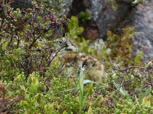 Ptarmigan, Cairngorms 6 June 2014 (Robert Ince)