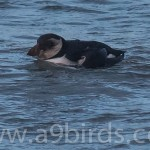 Puffin Burghead 12 Jan 2016 Mike Crutch