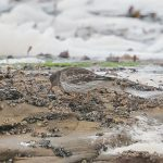 Purple Sandpiper Burghead 29 Nov 2017 Tony Backx 1