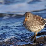 Purple Sandpiper Covesea 27 Jan 2017 Margaret Sharpe 2 P