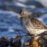 Purple Sandpiper Covesea 27 Jan 2017 Margaret Sharpe 3 P