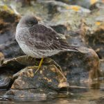 Purple Sandpiper Covesea 30 Dec 2016 David Main