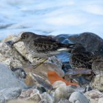 Purple Sandpiper Cullen 28 February 2017 Alison Ritchie