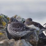 Purple Sandpiper Lossiemouth 17 Nov 2016 Margaret Sharpe 1