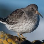 Purple Sandpiper Lossiemouth west beach 30 Jan 2017 Mike Crutch 1 P