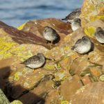 Purple Sandpipers Cullen 6 Nov 2017 Alison Ritchie