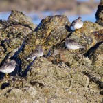 Purple Sandpipers Lossie west beach 23 Jan 2013 Tony Backx