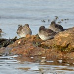 Purple Sandpipers Lossiemouth 1 Mar 2016 Margaret Sharpe