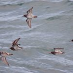 Purple Sandpipers Lossiemouth 16 Feb 2017 Gordon Biggs 2