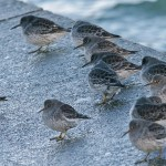 Purple Sandpipers Lossiemouth 5 Dec Tony Backx 2