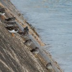 Purple Sandpipers Lossiemouth pier 8 Oct 2013 David Main