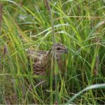 Quail Kinloss 15 Jun 2017 Allan Lawrence