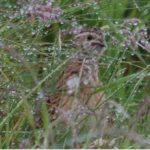 Quail Kinloss 19 Jun 2017 Allan Lawrence