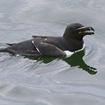 Razorbill Burghead 17 Apr 2013 Tony Backx