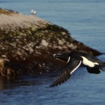 Razorbill in flight Bow Fiddle Rock 3 June 2013 Lenny Simpson
