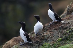 Razorbills, Portknockie 6 May 2014 (Richard Somers Cocks)