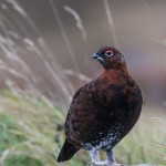 Red Grouse Dava 15 Oct 2014 David Devonport