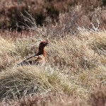 Red Grouse, Dava 18 Apr 2015 (Martin Cook) 2P