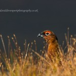 Red Grouse Dava 27 Oct 2014 David Devonport