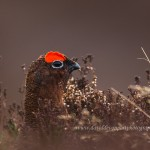 Red Grouse, Dava moor 11 March 2015 (David Devonport)