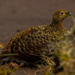 Red Grouse Ladder Hills 1 June 2014 David Main