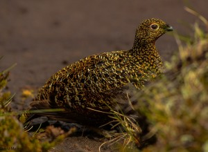 Red Grouse, Ladder Hills 1 June 2014 (David Main)