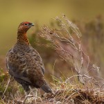 Red Grouse near Dunphail 14 Nov 2013 David Devonport