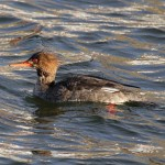 Red breasted Merganser Burghead 3 Feb 2016 Gordon Biggs