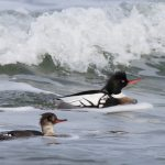 Red breasted Merganser Burghead Bay 13 Feb 2018 Richard Somers Cocks