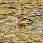 Red breasted Merganser Burghead harbour 19 Jan 2016 Alison Ritchie P