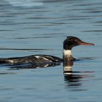 Red breasted Merganser Lossie estuary 23 Nov 2016 David Main