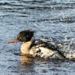 Red breasted Merganser Nairn 29 Dec 2014 Seamus McArdle