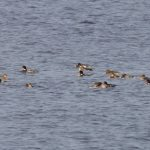 Red breasted Mergansers Burghead Bay 7 Nov 2017 Richard Somers Cocks