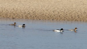 Red-breasted Mergansers and Goosanders, Findhorn Bay 14 May 2014 (Richard Somers Cocks) 2