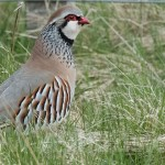 Red-legged Partridge, Johnstripe 24 May 2015 (Mike Crutch)