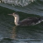 Red throated Diver Burghead 17 Nov 2016 Mike Crutch