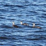 Red throated Diver Lossiemouth 21 Jan 2015 Gordon Biggs