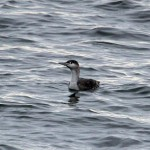 Red throated Diver Lossiemouth 5 Jan 2014 Gordon Biggs