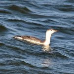 Red throated Diver Lossiemouth 6 Oct 2016 Gordon Biggs