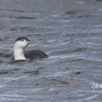 Red throated Diver Portgordon 17 Feb 2018 Nick Mellor