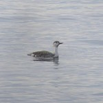 Red-throated Diver, off Findhorn 3 Nov 2014 (Richard Somers Cocks)