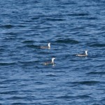 Red throated Divers Burghead 12 Apr 2013 Tony Backx