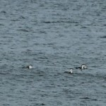Red throated Divers Spey Bay 24 Oct 2014 Martin Cook