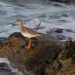 Redshank Burghead 25 Nov 2016 David Main P