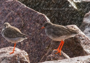 Redshank, Burghead 4 March 2014 (David Devonport)