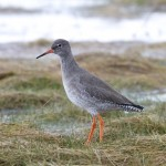 Redshank Findhorn 28 Jan 2013 Richard Somers Cocks