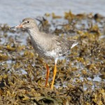 Redshank Lossie estuary 2 Sep 2013 Gordon Biggs